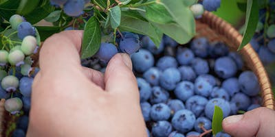 If you had held a blueberry between your fingers, you have a good idea of how delicate they are. This is why our blueberries are carefully and lovingly...