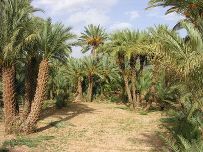 A North African country, Algeria is one of the most important grower of Deglet Nour dates. Its neighbour Tunisia is also right on the front line!