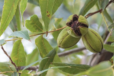 Farmers have to wait around five to eight years before being able to harvest the first nuts, which are, however, definitely worth the wait. Moreover, pecan...