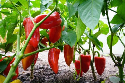 The shape and colour of the paprika plant's fruits can vary strongly. While the fruits grow slowly on their stems at the beginning, they experience a...