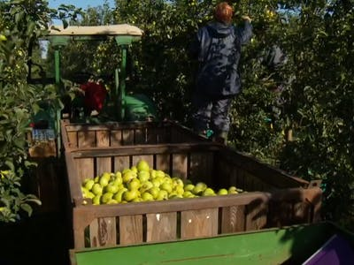 Depending on the apple variety, the harvest time goes from July to October. To avoid bruising, apples are still mostly picked by hand. Here, too, the low...