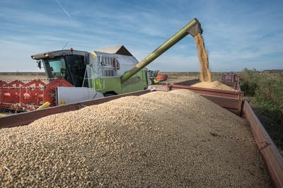 After the soybeans have ripened, they can finally be harvested between mid September and early October. You can tell that the soybeans are ripe if they...
