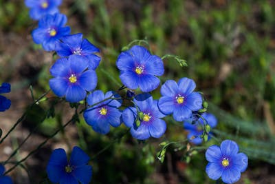 The common flax grows up to a meter high and in large fields, and in summer it produces pretty blue flowers.