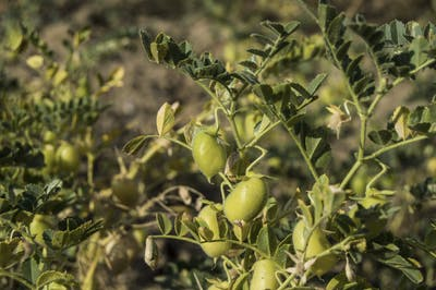 Chickpea plants are a annual herbaceous plants whose height can, depending on the variety, oscillate between 40 cm and one metre. Their flowers are white,...
