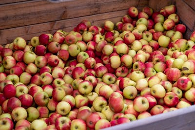 The apple harvest traditionally begins in September. Apples are ready to be harvested if they have reached the right colour for their kind, and if they...
