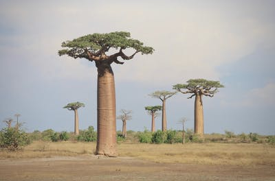 Our organic baobab powder comes from the fruit of the tree of the same name. Originating from Africa, the baobab tree now grows in Australia and Madagascar too.