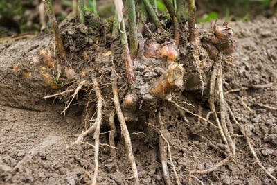 Ginger is a rhizome. Sounds like a long-extinct dinosaur, but it actually only means that the ginger bulb grows underground. Ginger grows during spring, and...