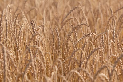 A tall-growing plant, spelt can reach a height of one and a half metres. When ripe, its narrow rachis inclines significantly. The reddish shimmering grains...