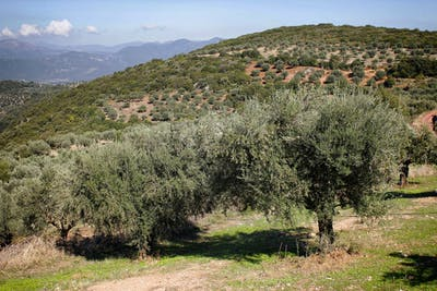 The olive tree blooms between the end of April and the beginning of July. Its inflorescences can hold up to 40 flowers each, from which the solitary stone...
