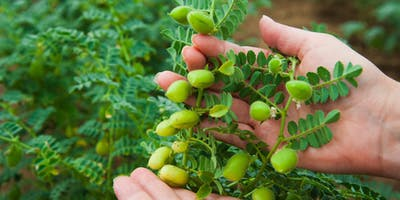 The chickpea plant is a herbaceous plant which can grow up to one metre in height. Its husks contain normally two seeds, often slightly different in size,...