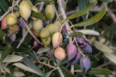 As soon as the plant sheds the first seeds, these are collected and carefully selected. By removing the outer skin, the beautiful white-greenish colour of...
