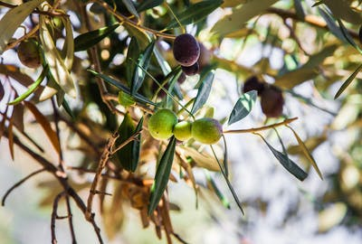 Just as the Chardonnay grape is used for specific wines, different types of olives are used to make olive oil due to their unique properties. The Kolovi...