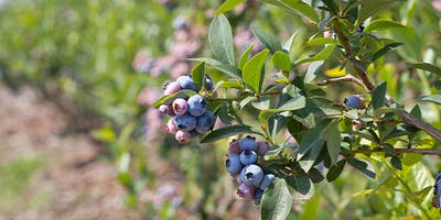 In Peru, every season is blueberry season: from June to April, the berries are harvested, with a peak in fruitfulness in December, January and February.