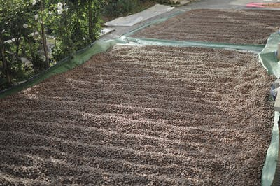The hazelnut harvest begins in September. Only the ripe nuts that fall easily off when the bushes are shaken, are harvested