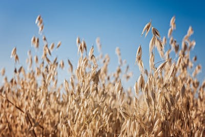 Sowing takes place at the beginning of March, as with oats the rule is, the sooner, the better.  In Europe, oats grow in Irland, Germany, Scotland, Wales,...