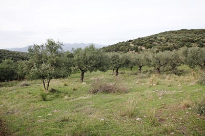 Olive trees have shaped the Greek landscape for thousands of years. A member of the genus Oleaceae, this naturally evergreen tree loves the warmth and can...