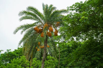 The date palm can grow to 30 metres, which makes the harvesting a pretty complex process. The long way up is however worth the effort, as a palm can bear 100...