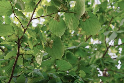 Particularly fast growing, the hazel can reach heights of six metres and widths of five