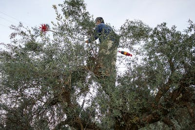 In Greece, harvesting takes place in winter. From October to March our ripe olives are still harvested by hand in the south of the Greek Peloponnese...