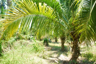 The coconut palm is a tropical plant that has been grown for more than 3,000 years.