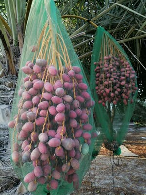 The plant on which Deglet Nours dates grow is called Authentic date palm